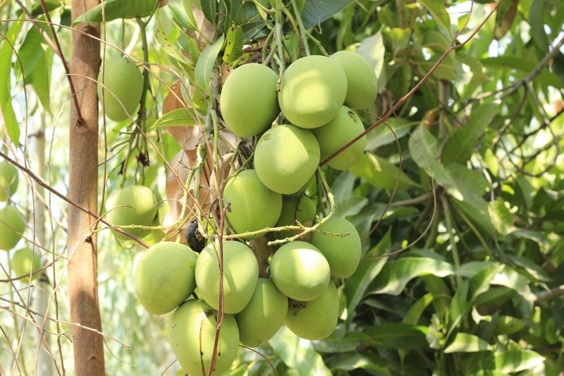Mango, Tree, Nature, Leaves, Sweet