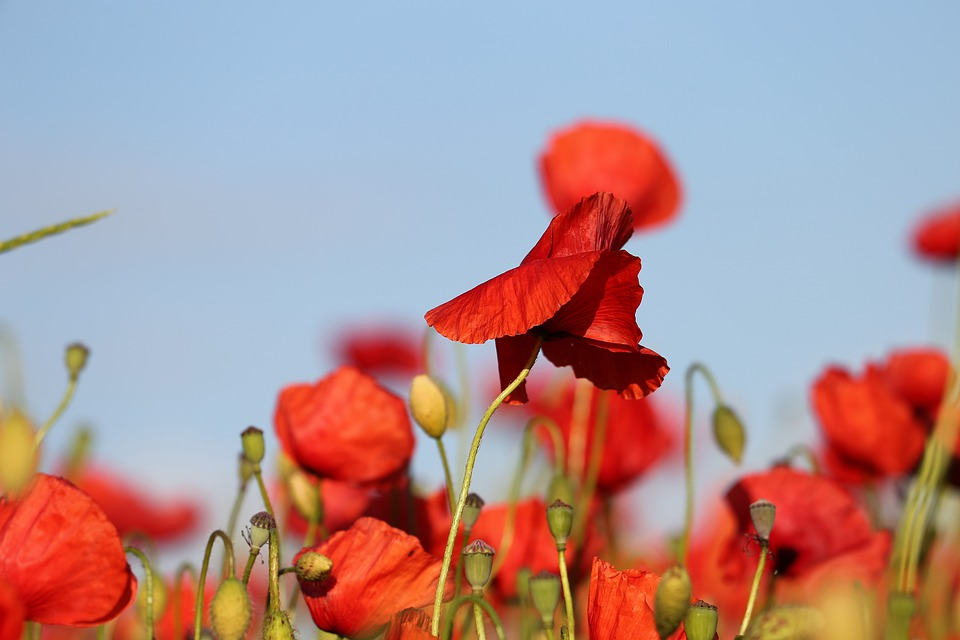 Gemalde Von Roten Mohnblumen Im Feld Auf Leinwand Sinus Art