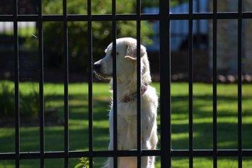 Guard Dog, Doggy, Companion, Trustworthy