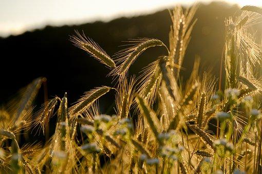 Céréales, Pointe, Champ De Seigle, Grain