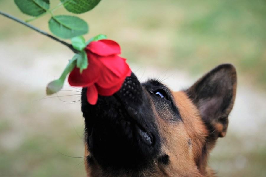 L'extrema sensibilitat dels gossos els converteix en «rastrejadors» de Covid