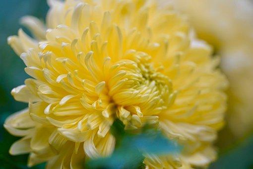 Chrysanthème, Chrysanthèmes De Jardin