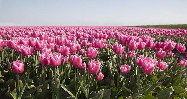 Tulips, Field, Meadow, Petals, Leaves