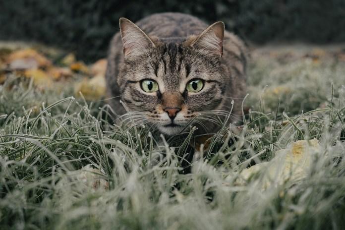 Cat, Tabby, Field, Pet, Animal, Domestic Cat, Feline