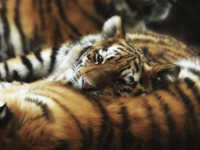 Um grupo de tigres é chamado de...