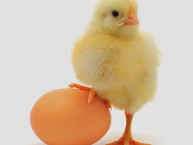 Apesar da maioria das pessoas acreditarem que foi o ovo que surgiu primeiro, a realidade é que pela teoria da evolução de Charles Darwin, uma espécie evolui de outra mais primitiva. As galinhas por exemplo, vieram dos dinossauros, que por sua vez, já botavam ovos.