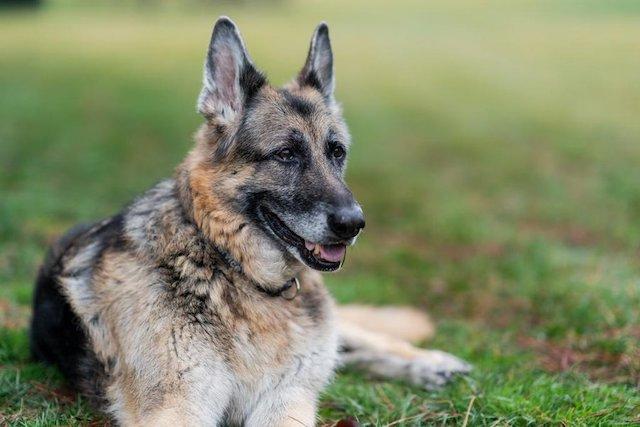 Joe Biden's dog Champ dies after 13 years