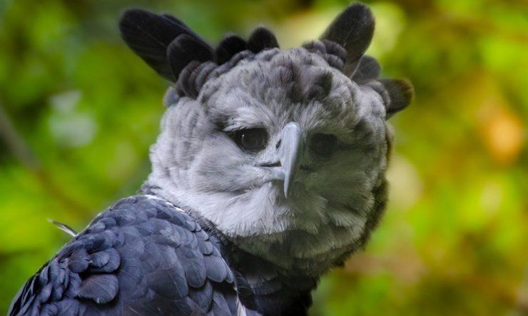harpy-eagle-staring-at-camera-1024x614.jpg (1024×614)