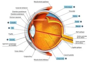 Qu'estce qu'un œil, et pourquoi sontils deux : anatomie  C'est Savoirfr