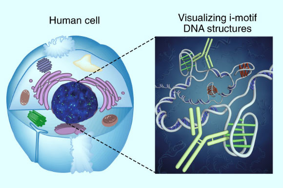 A twisted 'knot' of DNA, the i-motif has never before been directly seen inside living cells. Image credit: Zeraati et al, doi: 10.1038/s41557-018-0046-3.