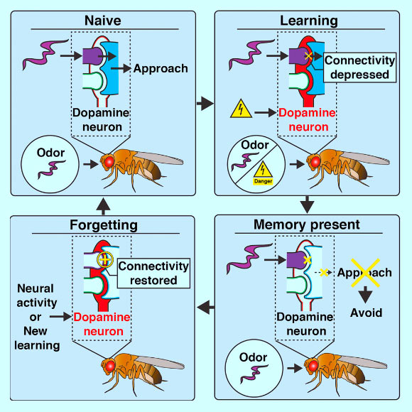 In fruit flies, dopamine neurons regulate both learning and forgetting. Berry et al identify a locus for the storage and retrieval of a short-term memory trace and show that a single dopamine neuron regulates both formation and disruption of this trace. Image credit: Berry et al, doi: 10.1016/j.celrep.2018.09.051.