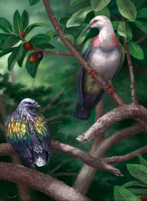 Tongoenas burleyi (right) likely featured the brightly coloured plumage of other canopy-dwelling pigeons on the Pacific islands. On the left is the Kanaka pigeon (Caloenas canacorum), another large extinct Tongan species. Image credit: Danielle Byerley