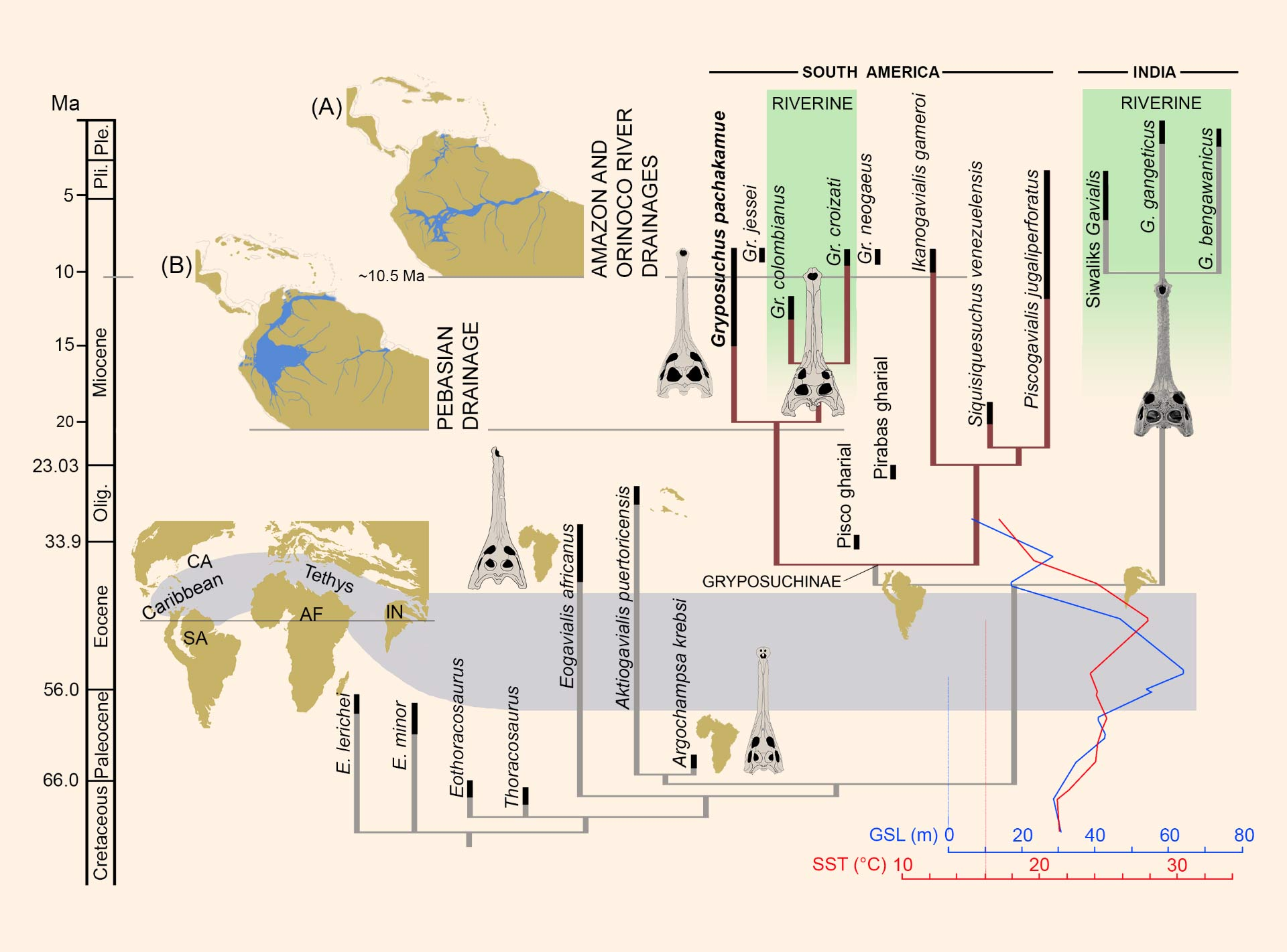 Discovery Of Miocene Crocodilian Suggests Parallel