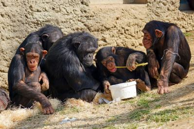 Image result for chimpanzee