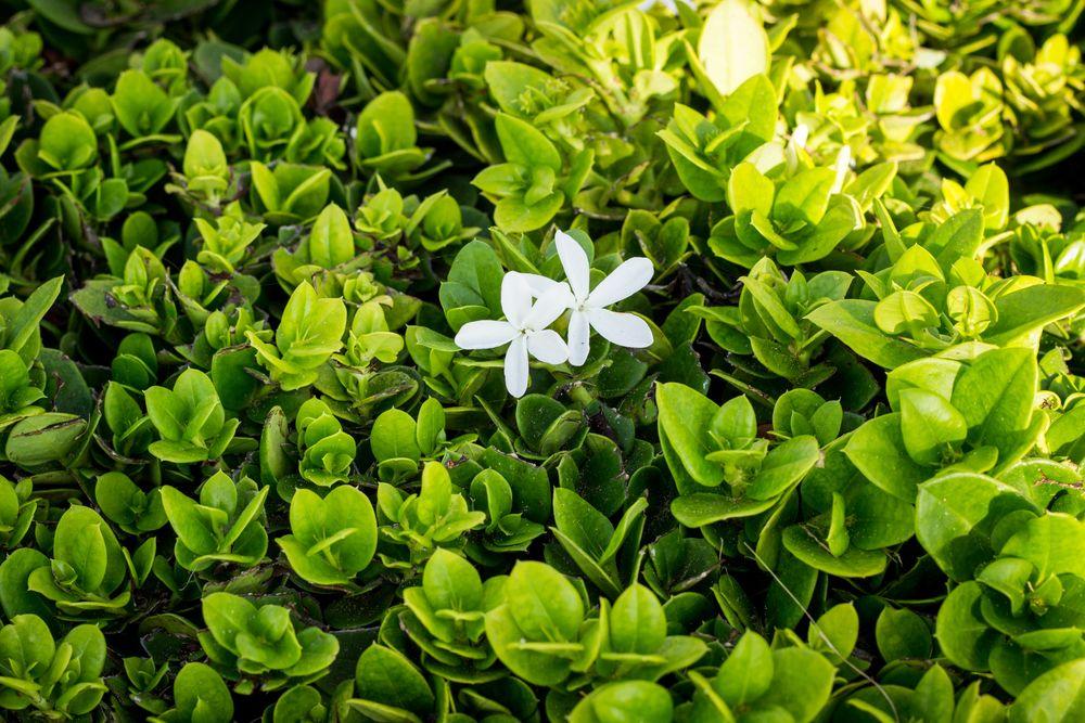 White flower in field of green