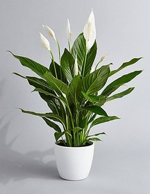 Buy Indoor Plants Online Upto 31 Off À¤­ À¤° À¤› À¤Ÿ Shopclues Com