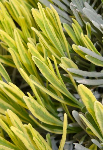 Plant of the month - 'Platinum Blonde'