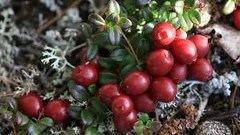 African Bearberry