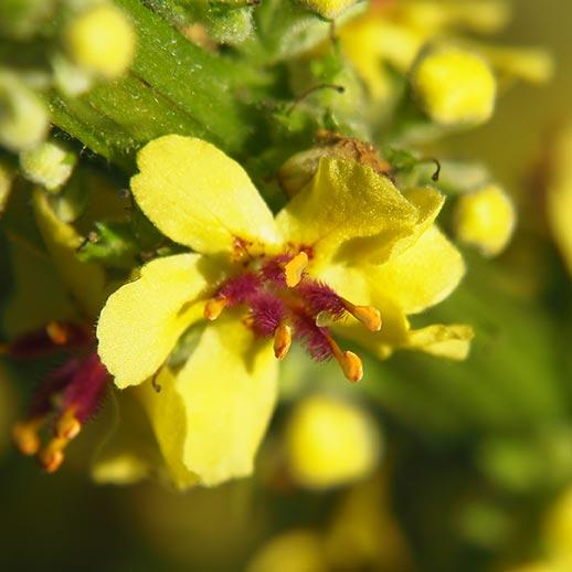 Mullein Benefits, Uses & History: Gaia Herbs®