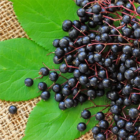 Black Elderberry 101 Everything You Need To Know Gaia Herbs