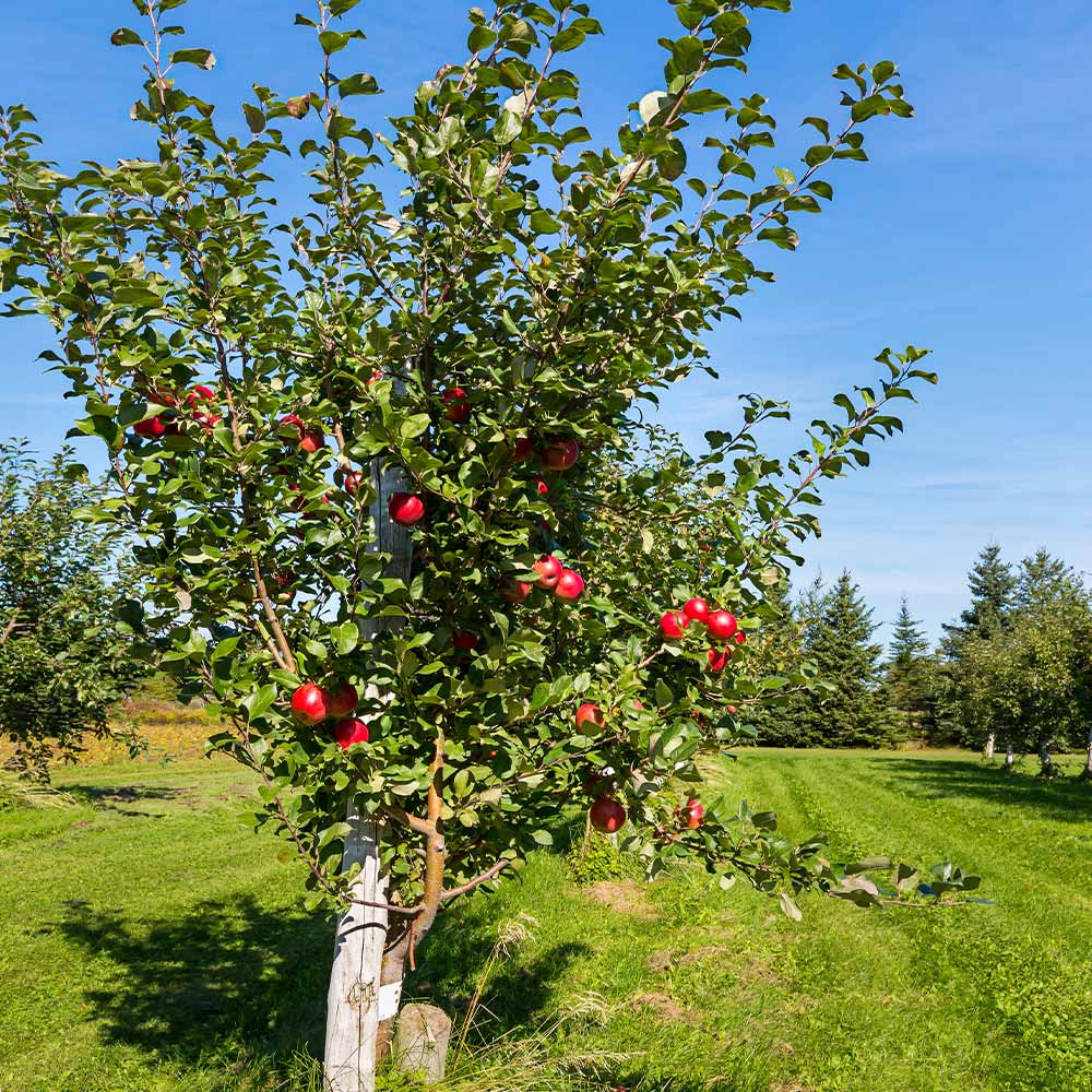 Low Chill Anna Apple Trees Fastgrowingtrees Com