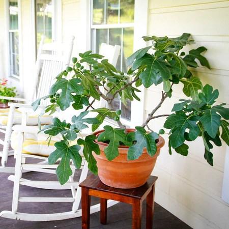 fignomenal fig tree