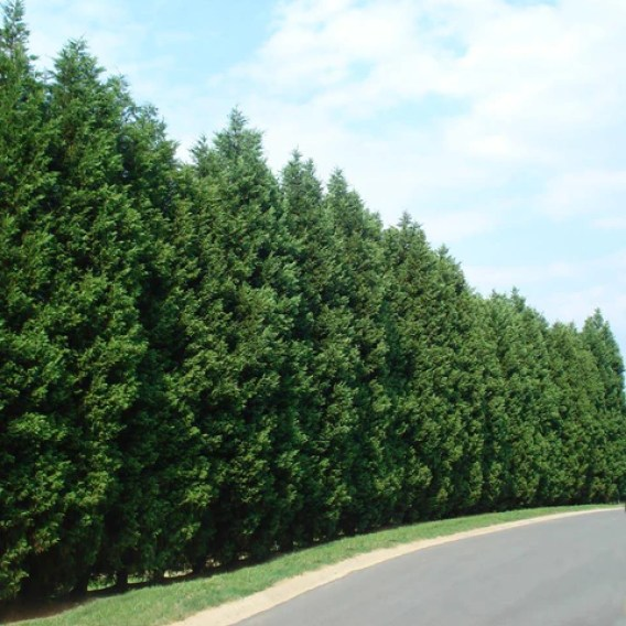 privacy hedge, evergreen trees for privacy