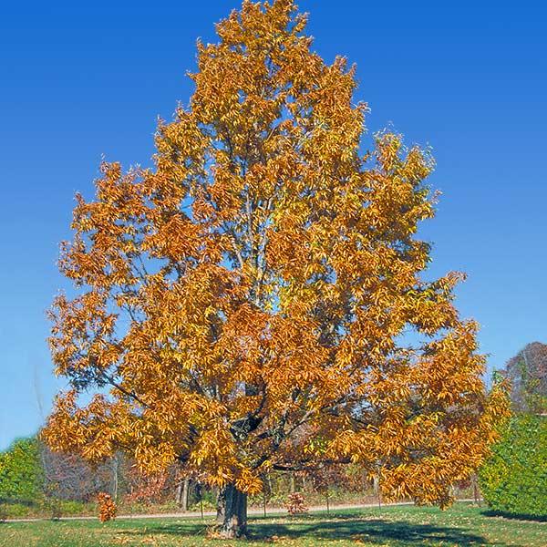 Sawtooth Oak Trees For Sale Fastgrowingtrees Com