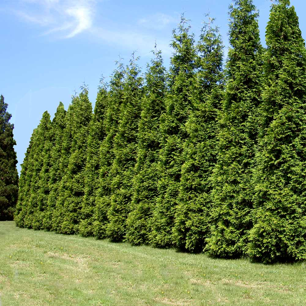 Thuja Green Giant Evergreen Trees For Sale Fastgrowingtrees Com
