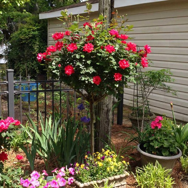 knock out rose trees double knock out