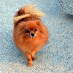 Pomeranian Puppies For Adoption Not Free Sabsesastakart