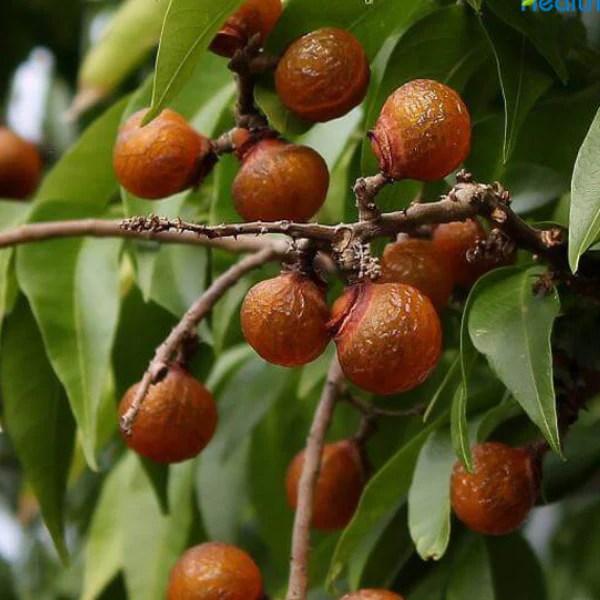 sapindus mukarossi soapnut tree