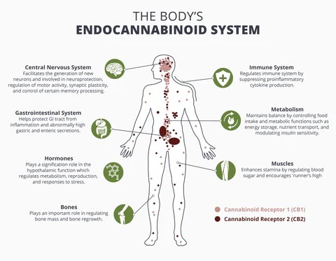 Endocannabinoid system and how it works CBD