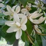 Michelia Macclurei Rare Magnolia Tree 8 100 Seeds Fragrant Evergreen The Plant Attraction