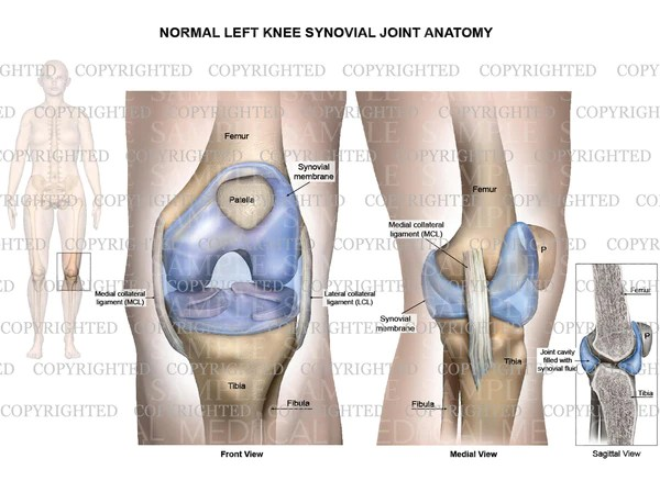 Normal left knee synovial joint anatomy  Collateral