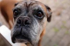 aging dog weight management