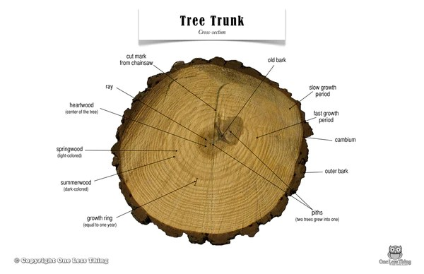 Tree Trunk Anatomy, Poster  One Less Thing