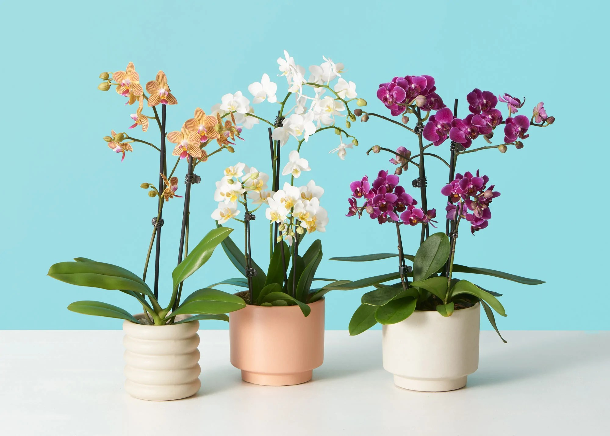 How To Care For Phalaenopsis Orchids Plant Care Tips The Sill