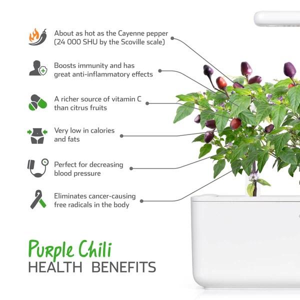 Purple Chili Pepper Plant Pods Click Grow