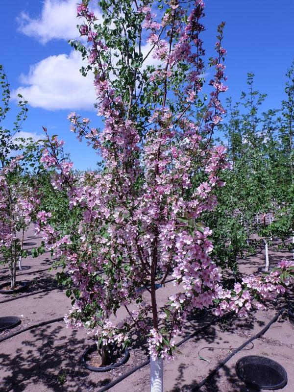 Malus Pink Spire Flowering Crab Calgary Plants Online
