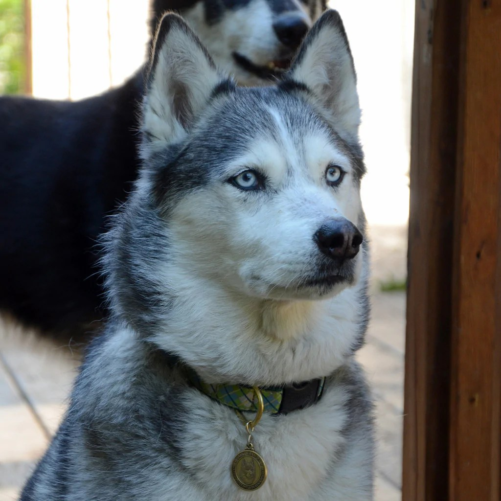 Siberian Husky St Francis Tag BIG Gentle Dogs