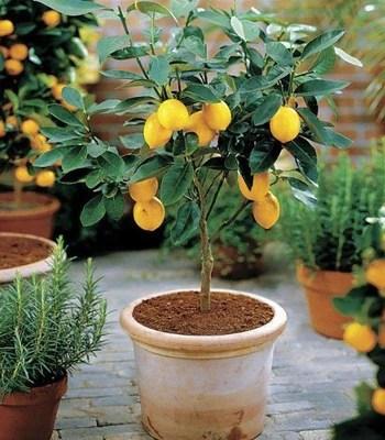 old improved meyer lemon tree in