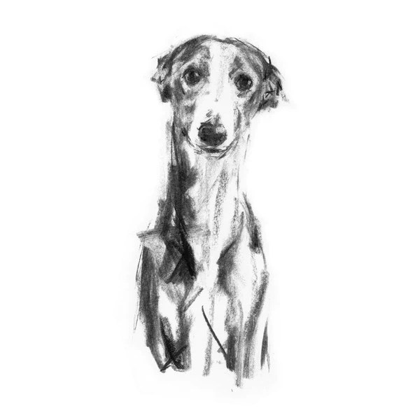 Gentle Whippet Sketch Print PaintMyDog Dog Art