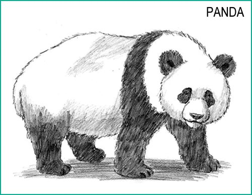 Comment Dessiner Un Panda Petit Panda