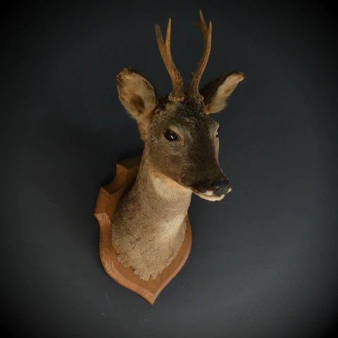 Natural History Taxidermy And Curiosities Hunter Amp Rose