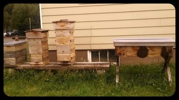 Bees Bearding