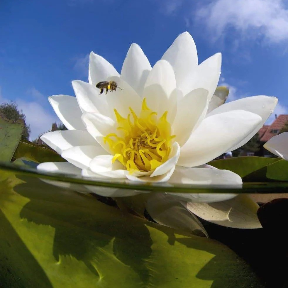 Water Lilies British Plants Seeds Shop Habitat Aid