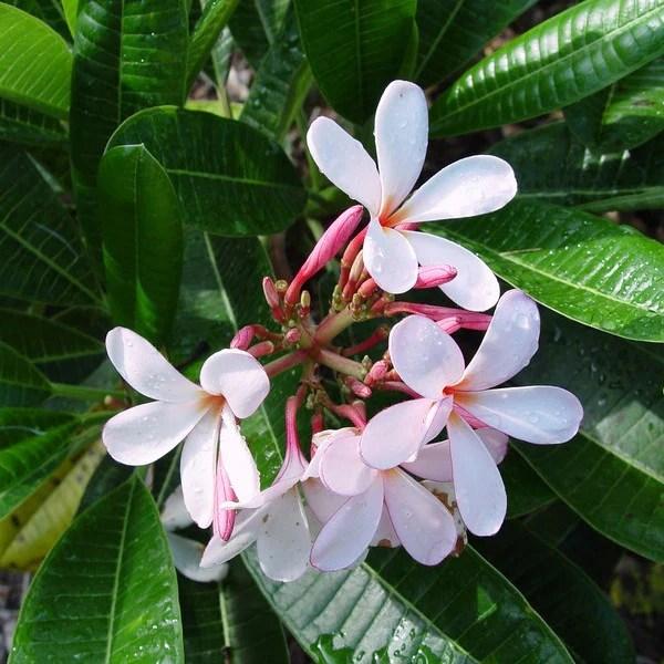 Plumeria Obtusa Dwarf Singapore Pink Mybageecha