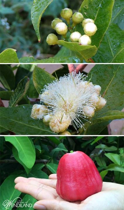 Seed Grow Pear Tree