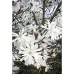 Magnolia Stellata Royal Star Royal Star Magnolia Paramount Nursery Inc